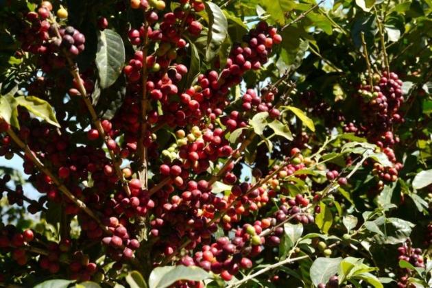 一本のコーヒーの木からの収穫量は、、、