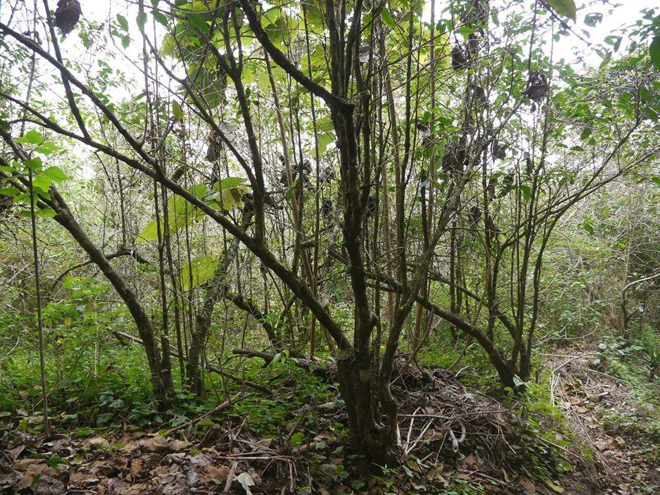 アゴビオはエルサルバドルの伝統的な栽培方法のひとつ